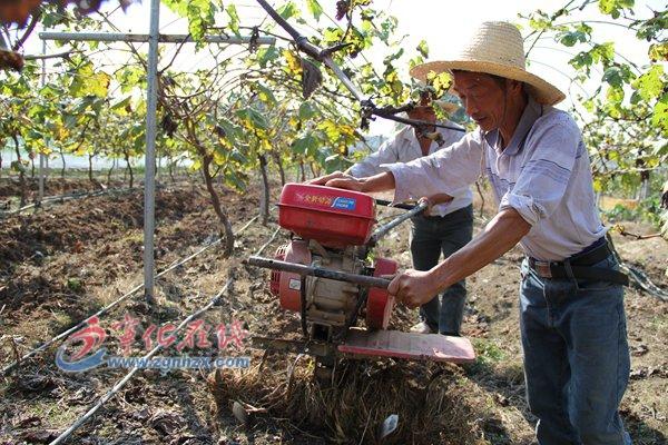 宁化:葡萄园里耕作忙