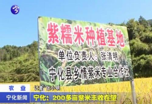 宁化:200多亩紫米丰收在望