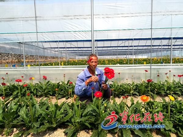 宁化安乐:种植花卉促增收