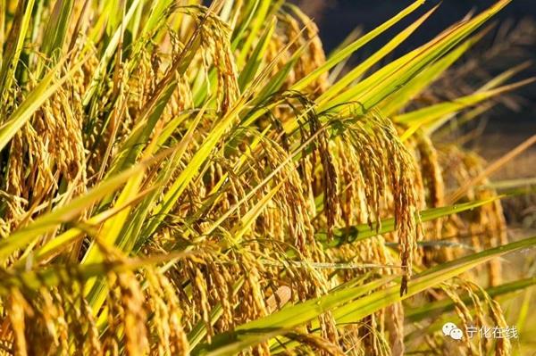 打造生态水稻基地 提升食品安全水平