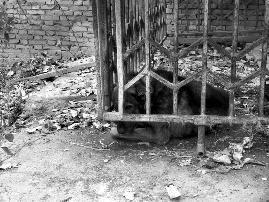 老太工地上遭4只恶犬撕咬 恶犬均被警方击毙(图)