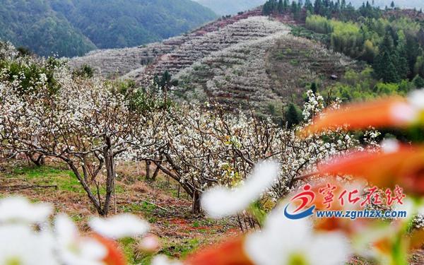 宁化廖家村:千亩梨花盛开如雪