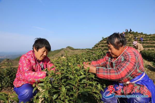 宁化3万亩春茶开采上市