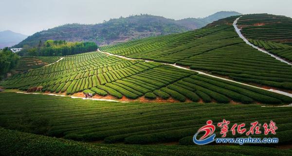 宁化中沙乡:茶山风景美如画