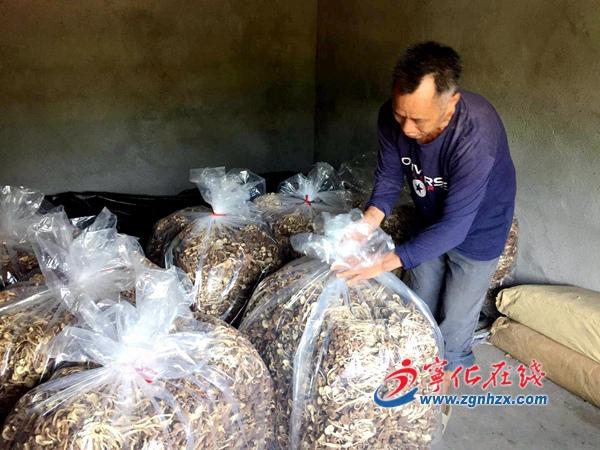 宁化水茜:15万筒茶树菇获丰收