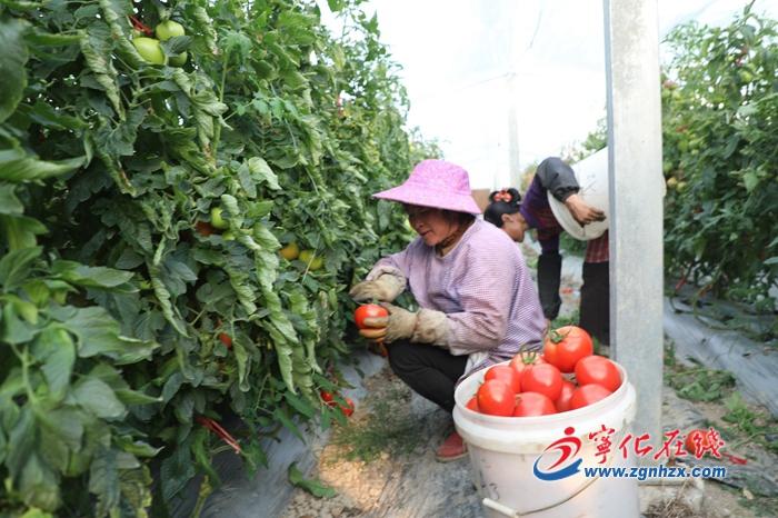 【产业攻坚年】宁化:西红柿红了