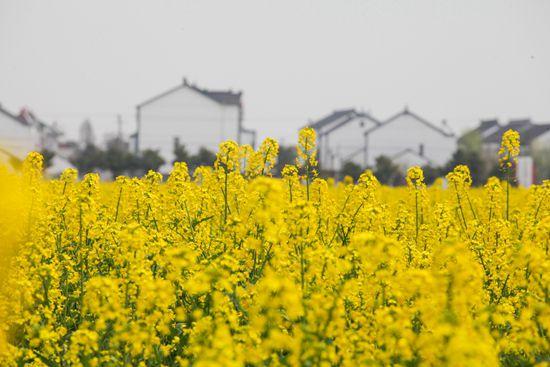 第十届中国·同里油菜花节将于3月30日开幕