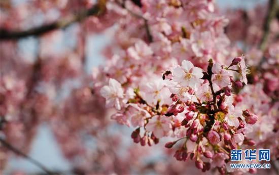 上海︰櫻花綻放(fang)春(chun)意濃