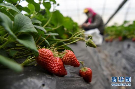 新疆三坪農場的草莓(mei)熟了