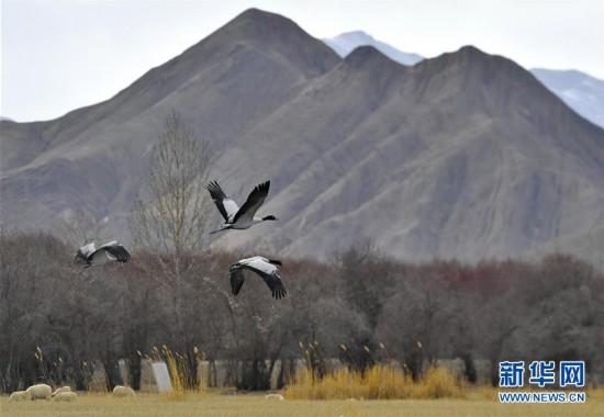 西藏日喀則︰濕地鶴舞