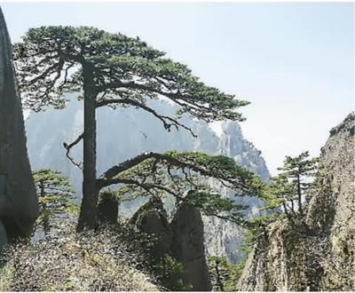 春(chun)游黃山