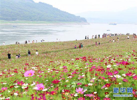 重慶︰格桑花(hua)開長江畔